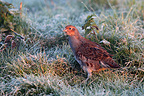 Grey partridge standing in a frozen meadow Great Britain (Grey partridge)