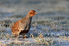 Grey partridge standing near a frozen puddle Great Britain (Grey partridge)