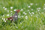 Grey partridge standing in a flowered meadow Great Britain (Grey partridge)