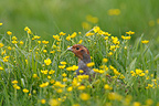 Grey partridge amongst buttercups Great Britain (Grey Partridge)