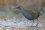 Water rail standing in an iced marsh Great Britain (Water rail)