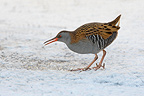 Water rail looking for food in the snow Great Britain (Water rail)