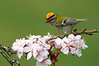Firecrest perched in flowering tree Great Britain (Firecrest)