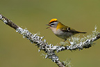 Firecrest singing on a branch Great Britain (Firecrest)