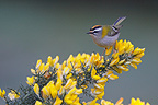 Firecrest perched on a branch of broom Great Britain (Firecrest)