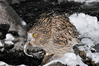 Blakiston's Eagle-Owl fishing in a frozen river Japan (Blakiston's Eagle-Owl)