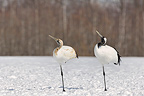 Couple of Red-crowned Cranes resting on snow Japan (Red-crowned Crane)