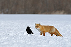 Raven and Fox looking at each other in the snow Japan (Fox and Raven  (unidentified))