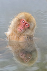 Japanese Macaque bathing in a hot source Japan (Japanese macaque )