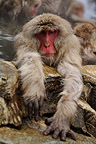 Japanese Macaque going out from a hot source Japan (Japanese macaque )