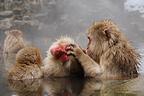 Japanese Macaques grooming in a hot source Japan (Japanese macaque )