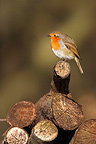 Robin standing on a stack firewood Great Britain (European Robin)