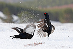 Males Black grouses fighting on snow Scotland (Black grouse)