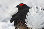 Portrait of a male Black grouse when displaying Scotland (Black grouse)