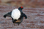 Male Black grouse displaying Scotland (Black grouse)