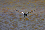 White-winged black tern fishing in flight spring Poland (White-winged black tern)