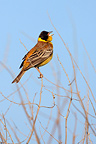 Black-headed bunting singing on a branch Greece (Black-headed Bunting)