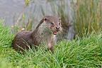 European Otter on a river bank Great Britain (European otter)