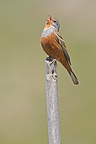 Cretzschmar's bunting singing on a branch Greece (Cretzschmar's Bunting)