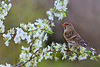 Lesser redpoll standing on a flowering branch Great Britain (Lesser redpoll)