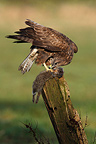 Buzzard eating a dead rabbit on a post Great Britain (Common Buzzard)