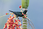 Asian Glossy Starling on fruits Thailand (Asian Glossy Starling)