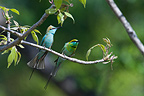 Couple of Little Green Bee-eater on a branch Bardia NP Nepal (Little Green Bee-Eater)