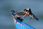 Couple of Pacific Swallow on a small boat Thailand (Pacific Swallow)