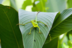 Green-crested Lizard Thailand (Green crested lizard)