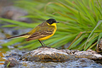Black-headed wagtail standing on a stone spring Greece (Black-headed wagtail)