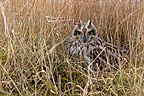 Short-eared owl standing in dry grasses winter GB (Short-eared owl)