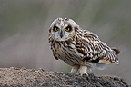 Short-eared owl standing on ploughed field winter GB (Short-eared owl)