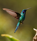 Hummingbird hovering flight Costa Rica (Hummingbird)