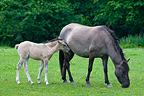 Tarpan female and foal grazing Poland  (Tarpan )
