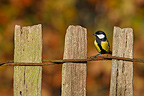 Great tit standing on a fence in autumn Great Britain (Great Tit; Blue Tit)