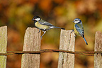 Great tit & Blue tit standing on fence in autumn GB (Great Tit)