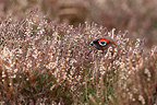 Male Red grouse in the heathers Scotland (Red grouse)