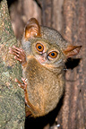 Horsfield�s Tarsier on the trunk of a tree Tangkoko NP (Western tarsier)