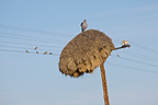 Sociable Weaver nests and Pale Chanting-goshawk Kalahari (Pale Chanting-goshawk; Sociable Weaver)