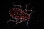Common Bed bug in light microscopy