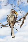 Southern Yellow-billed Hornbill cleaning a paw Kruger NP (Southern Yellow-billed Hornbill)