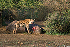 Spotted Hyaena starting to eat a Common Hippopotamus (Speckled Hyena)