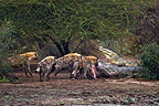 Hyenas and Nile Crocodile around death Common Hippopotamus (Spotted Hyena)