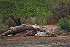 Nile Crocodile eating the carcass of a Common Hippopotamus (Nile Crocodile; Hippopotamus)