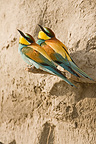European bee-eaters on a riverbank Provence France (European Bee-eater)