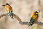 European bee-eaters on a branch Provence France (European Bee-eater)