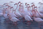 Rosy Greater Flamingoes colony moving Camargue France (Rosy Greater Flamingo)