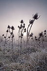 Teasels frost Provence France�
