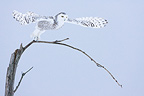 Snowy Owl flying from a tree in winter Quebec Canada (Snowy Owl)