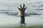 Male Roe deer swimming in the river Allier France  (Roe deer)